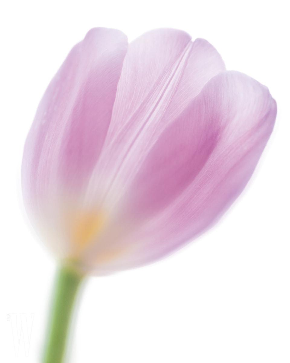 Pink Tulip Closeup