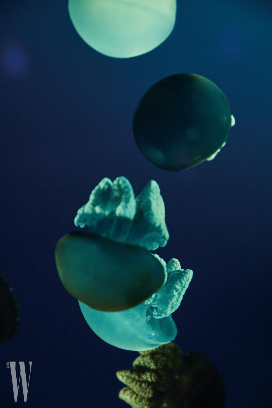 둥근 형태의 말레이원양 해파리.
