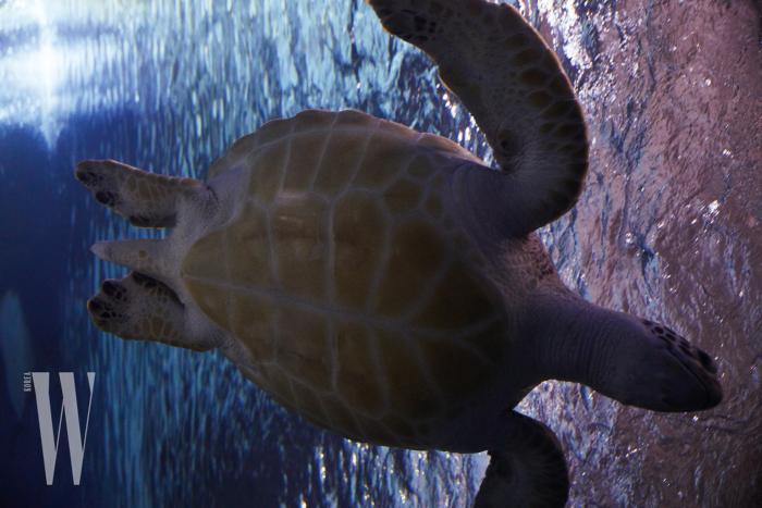 물속에선 유난히 빠르게 헤엄치는 매부리바다거북.