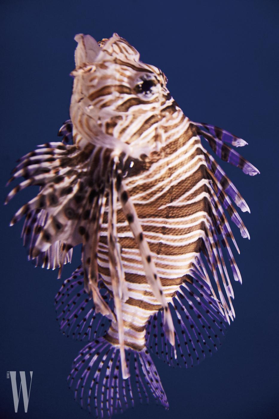 가시처럼 뾰족한 지느러미를 가진 쏨배감펭 물고기.