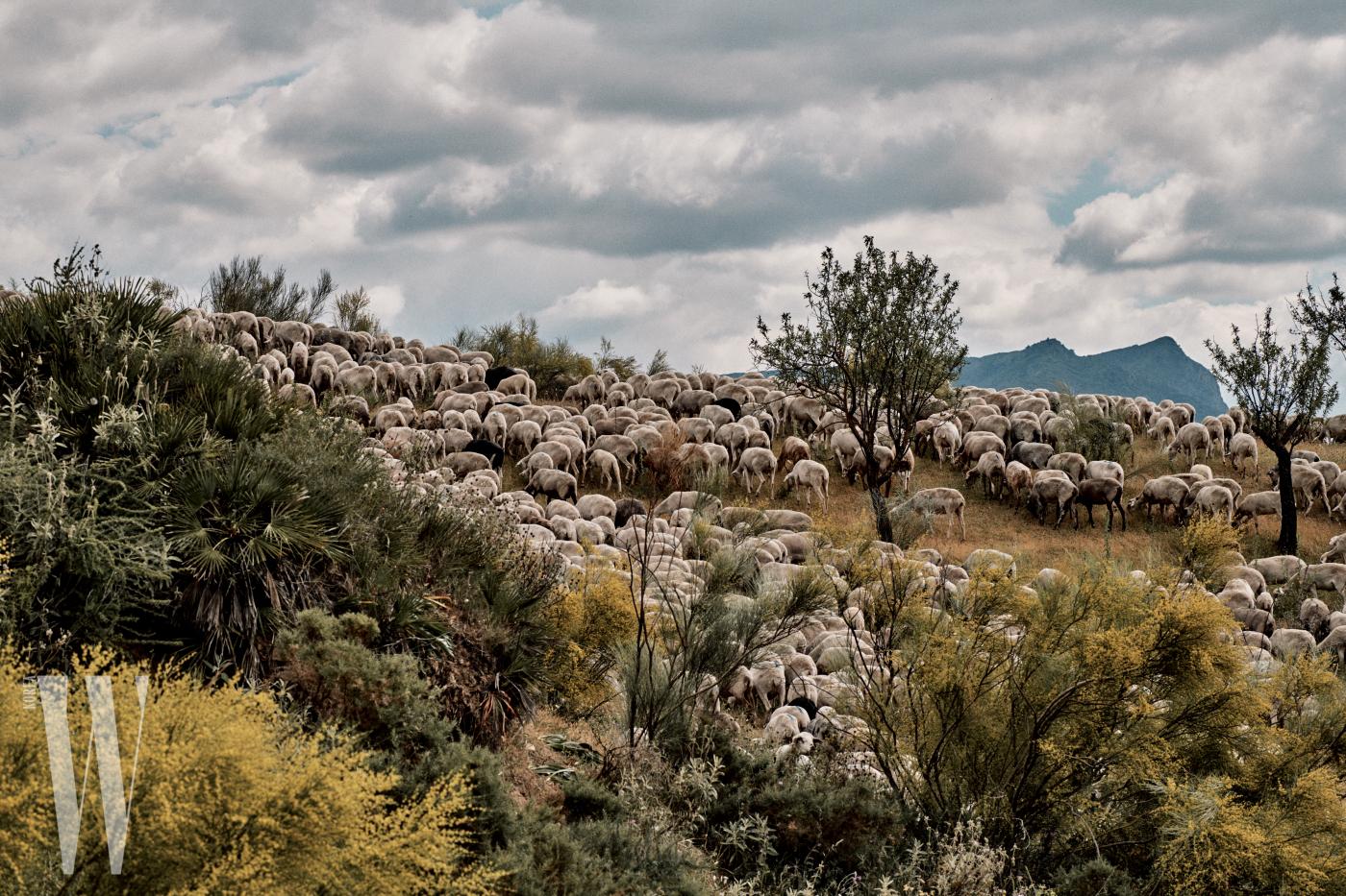 스페인 남부 안달루시아 지방 안테케라 골짜기를 점령한 양떼들.